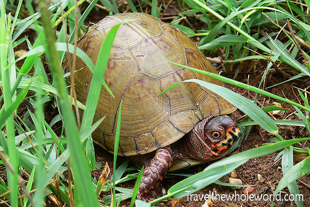 Missouri Box Turtle