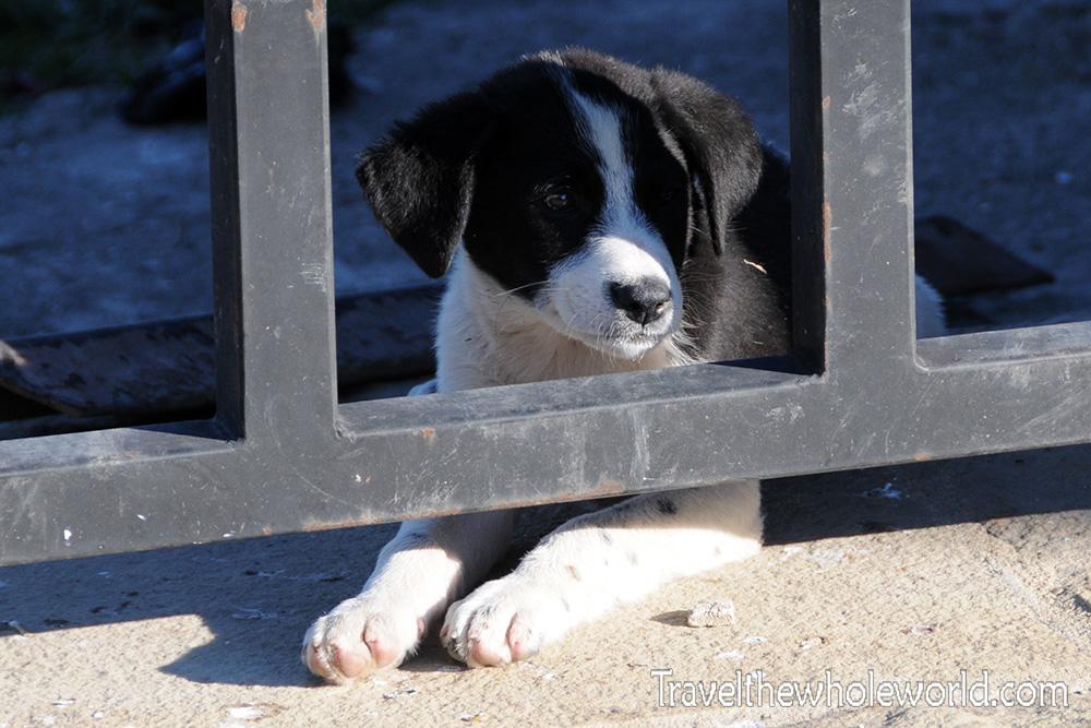 Moldova Capriana Monastery Puppy
