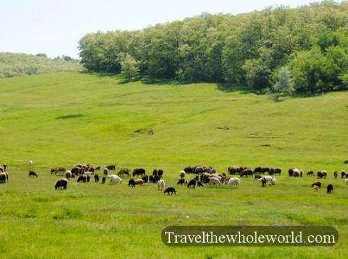 Moldova Sheep