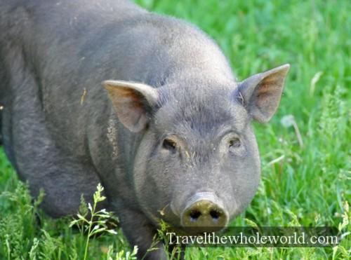Moldova Wild Boar