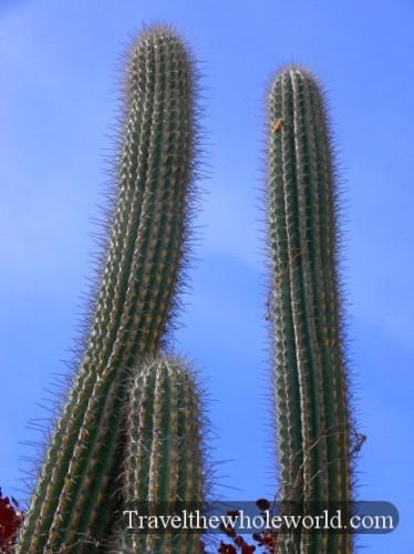 Puerto Rico Cactus