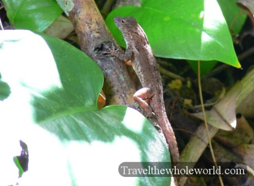 Puerto Rico Lizard