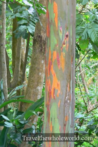 Puerto Rico Colorful Bark