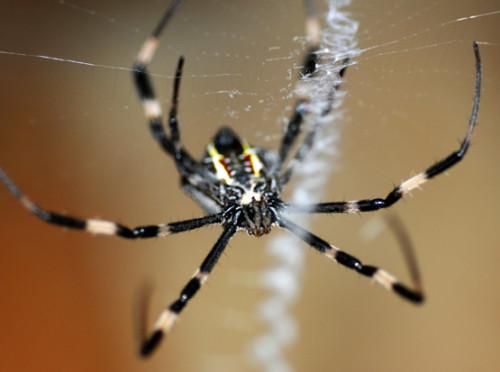 West Papua Suanggama Spider