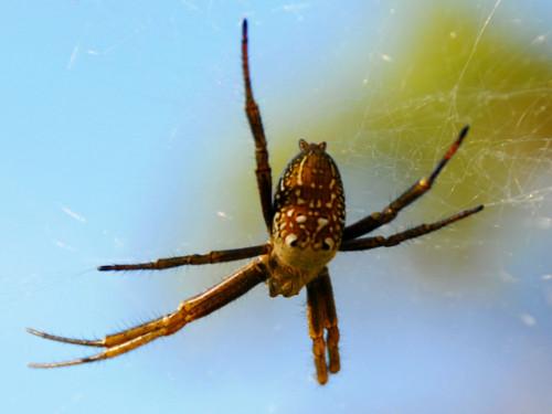 West Papua Sugapa Spider