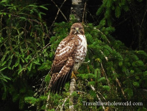 California-Redwoods-Red-Tailed-Hawk