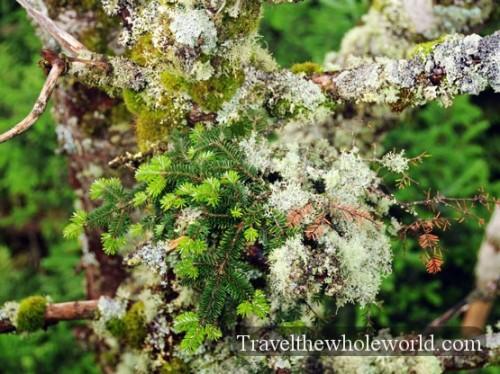 Smoky Mountains Moss