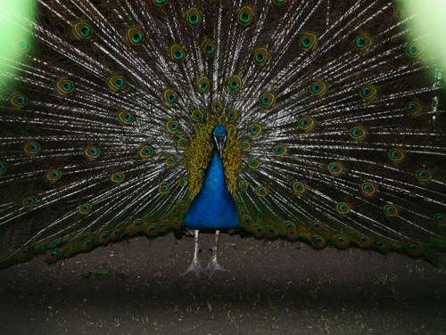 Kok Tobe Peacock