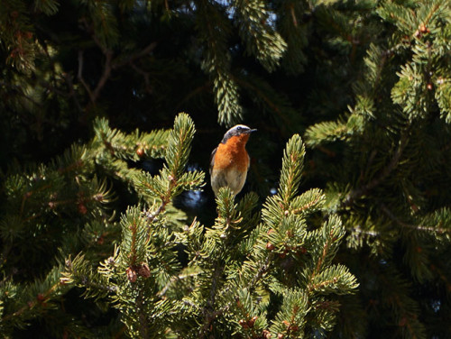 Kazakhstan Ile-Alatau National Park Bird