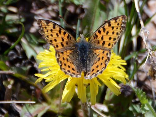 Kazakhstan Butterfly