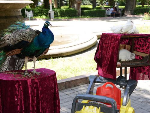 Kyrgyzstan Bishkek Park Peacock