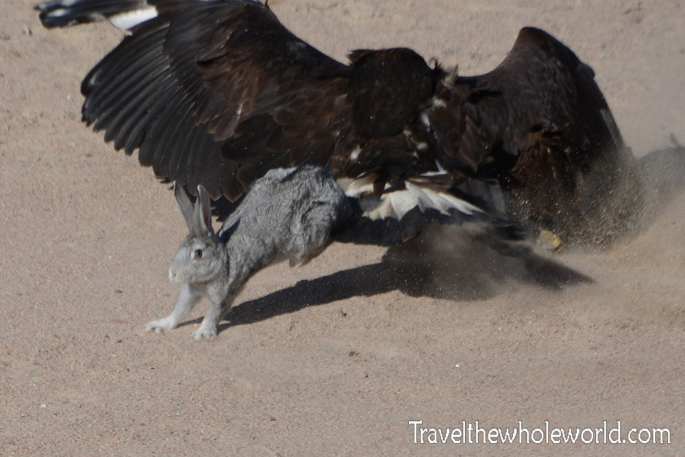 Central Asia Golden Eagle Vs Rabbit