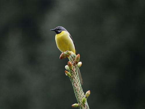 Kyrgyzstan Tian Shan Bird