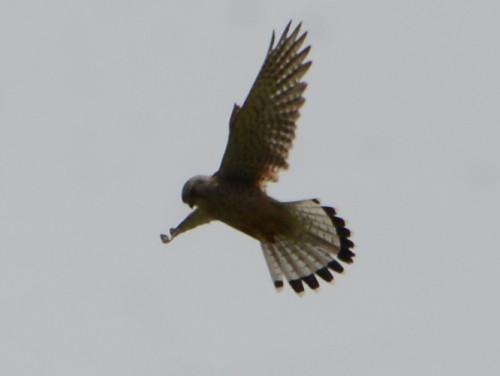 Kyrgyzstan Harrier