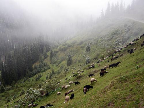 Kyrgyzstan Tian Shan Sheep