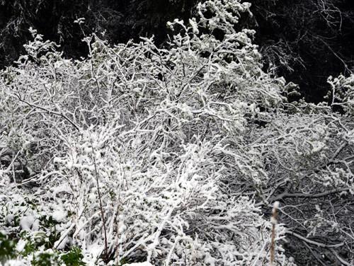 Kyrgyzstan Tian Shan Snow Bush