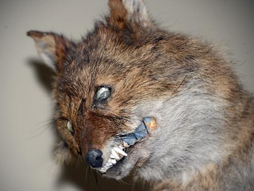 Tajikistan Panjakent Museum Fox