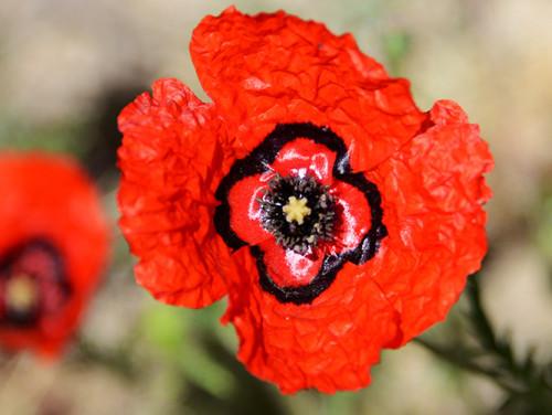 Tajikistan Red Poppy Flower