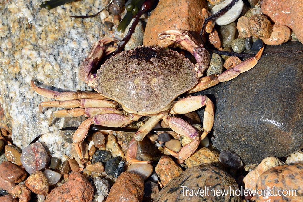 Rhode Island Block Island Crab