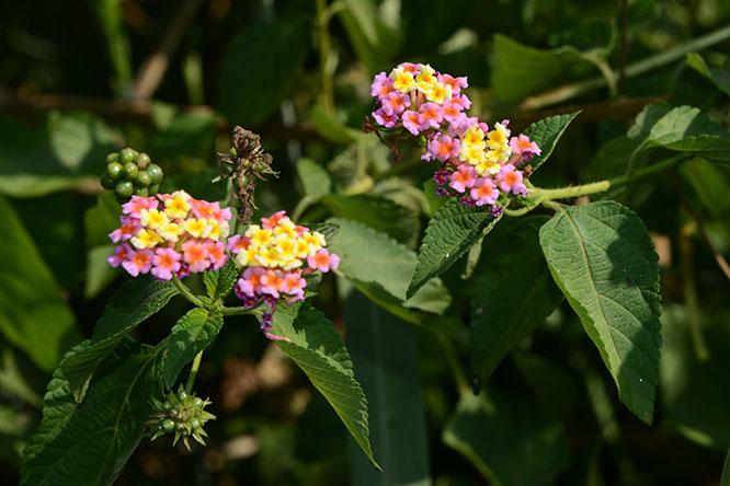 Burundi Rusizi Flowers