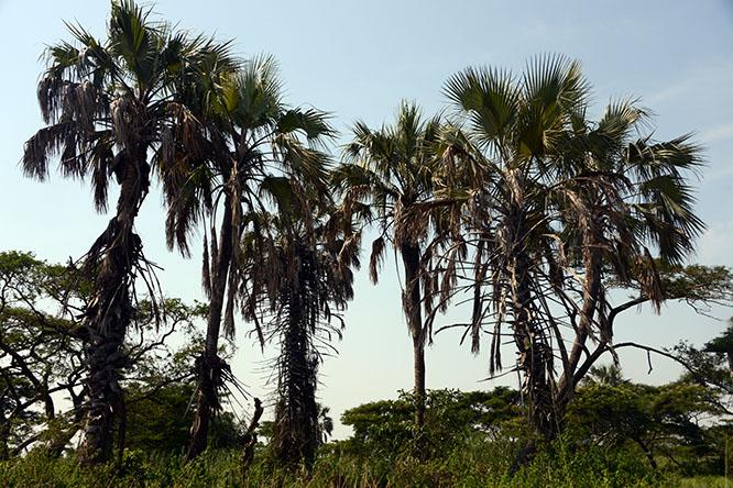 Burundi Rusizi Palms