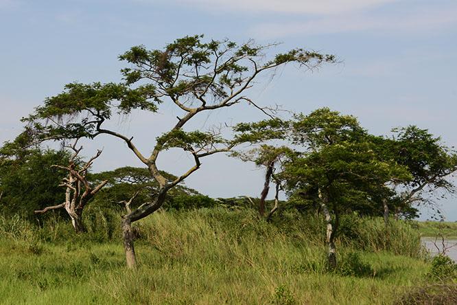 Burundi Rusizi Trees