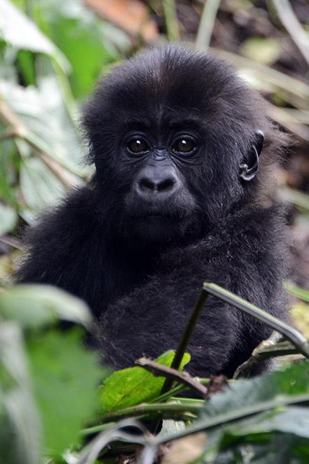 Congo Kahuzi Bieza Lowland Gorilla Baby