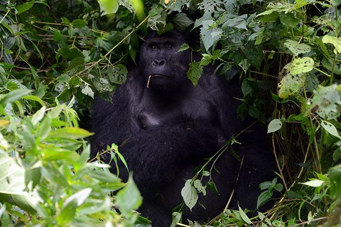 Congo Kahuzi Bieza Lowland Gorilla Silverback