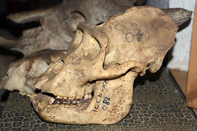 Congo Gorilla Skull