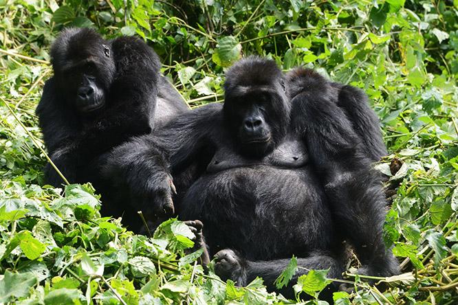 Congo Kahuzi Bieza Lowland Gorilla