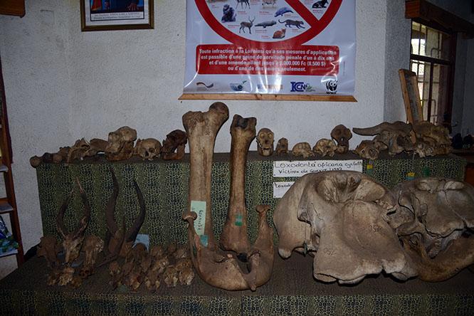 Congo Kahuzi Bieza Bones