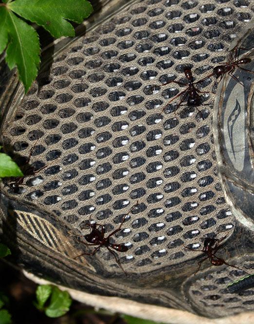Congo Nyiragongo Volcano Ants Shoe