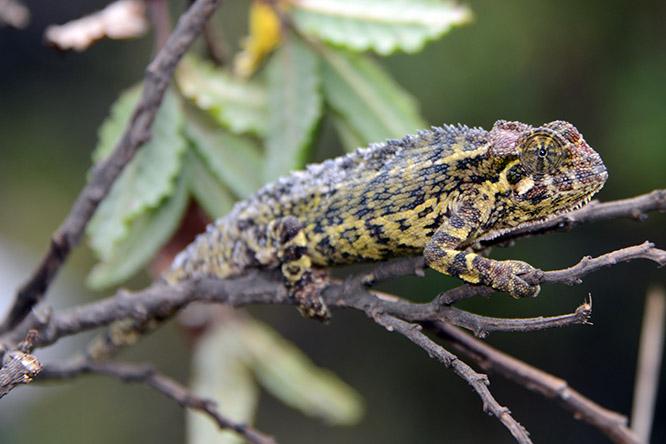 Congo Nyiragongo Volcano Chameleon