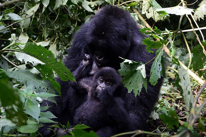 Congo Virunga Gorilla Baby