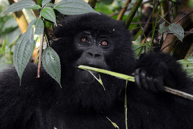 Congo Virunga Gorilla Eating