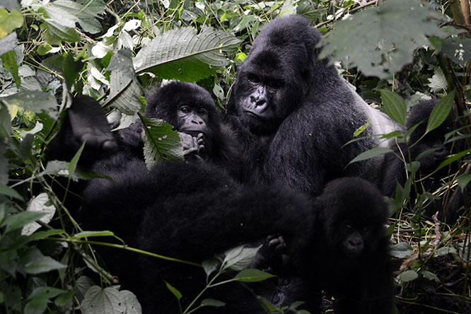 Congo Virunga Gorilla Family
