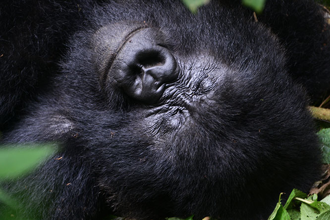 Congo Virunga Gorilla Sleeping