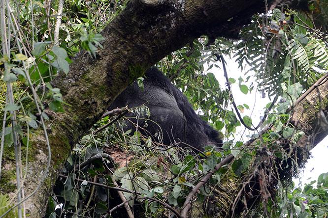 Congo Virunga Gorilla Trees