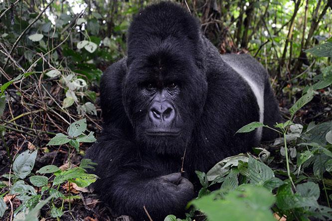 Congo Virunga Gorilla
