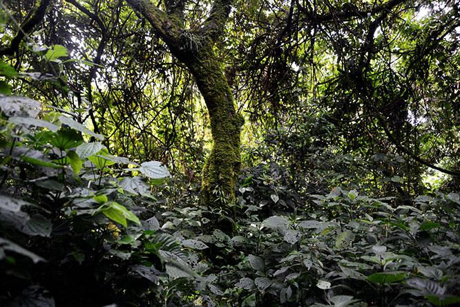 Congo Virunga Montane Tropical Forest