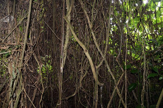 Congo Virunga Vines