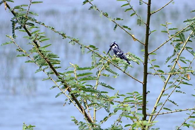 Burundi Bujumbura Lake Tanganyika Kingfisher