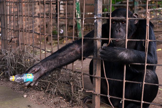 Burundi Bujumbura Zoo Chimp