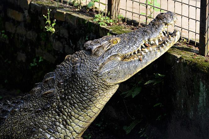 Burundi Bujumbura Zoo Crocodile