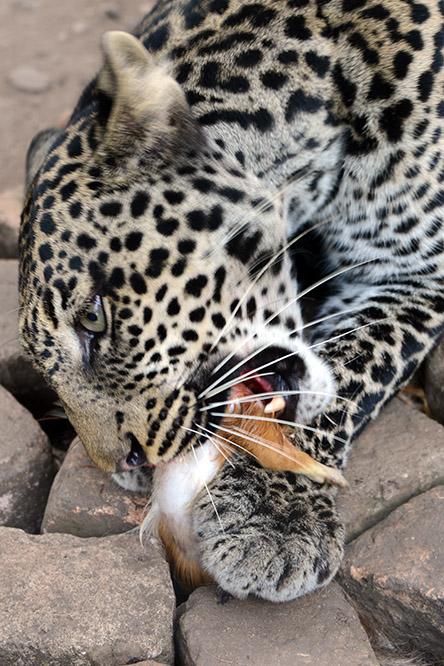 Burundi Bujumbura Zoo Leopard Eating