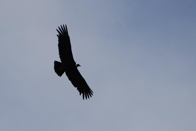 Ecuador Cotopaxi Condor