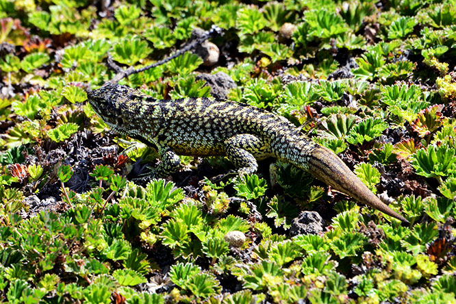 Ecuador Cotopaxi Lizard