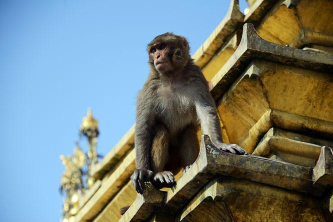 Nepal Kathmandu Monkey Temple Monkey