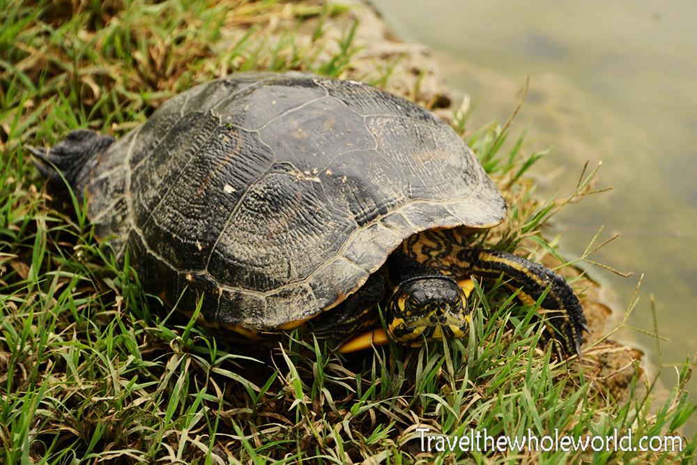 Italy Turtle