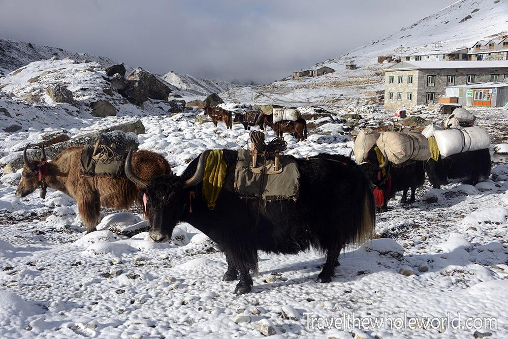 Nepal Khumbu Valley Lobuche Yaks